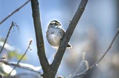 白色红喉刺莺的麻雀冷淡的冬天日出 免版税库存照片