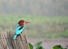 白色红喉刺莺的kingfisherÂ太平smyrnensis 免版税库存图片