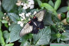 白色红色和黑蝴蝶 库存照片