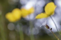 白色罗伯特草本-大竺葵robertianum 免版税图库摄影