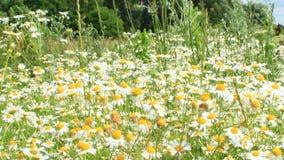 白色美丽的春黄菊花在领域开花 股票录像