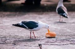 白色美丽的海鸥和吃面包的灰色羽毛在码头39 图库摄影