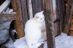 白色美丽的猫在冬天 库存图片