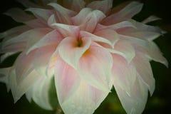 白色美丽的花即乔治娜或大丽花 免版税库存图片