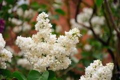 白色美丽的花在庭院发光了在太阳 库存照片