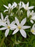 白色美丽的花 在绿草背景的花 免版税图库摄影