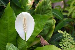 白色美丽的茎化锥花 免版税库存照片