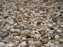 白色美丽的贝壳 库存图片