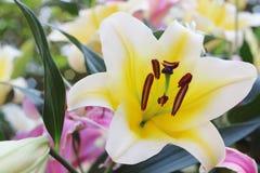 白色美丽lilly在庭院里 免版税库存照片