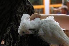 白色美冠鹦鹉降低将被爱抚的头 免版税库存图片