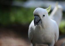 白色美冠鹦鹉画象 库存照片