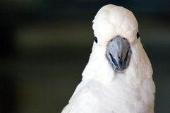 白色美冠鹦鹉 库存照片