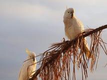 白色美冠鹦鹉 免版税库存图片