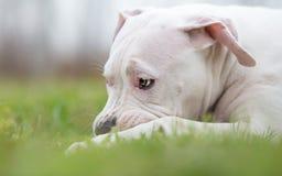 白色美国斯塔福德郡狗小狗使用 免版税库存照片