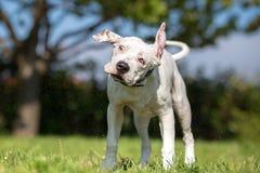 白色美国斯塔福德郡狗年轻狗震动 免版税库存照片