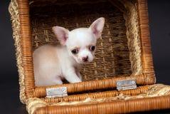 白色美好的小奇瓦瓦狗小狗开会 免版税库存照片
