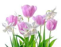 白色美好的春天,桃红色黄水仙和被隔绝的郁金香花 库存图片