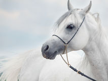 白色美妙的阿拉伯公马软的画象在天空backgr的 免版税库存图片