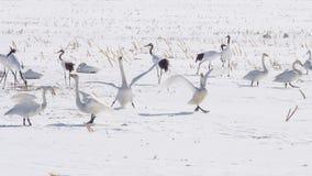 白色美洲天鹅涂了在清楚的蓝天的翼 免版税库存图片