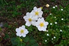 白色群在庭院里最近开了花花 免版税库存图片