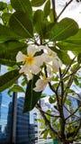 白色羽毛在企业大厦的背景开花 图库摄影