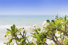 白色羽毛开花在海滩的树 免版税库存图片