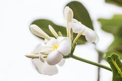 白色羽毛开花美丽在树,赤素馨花 免版税图库摄影