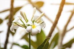 白色羽毛开花美丽在树,赤素馨花 库存照片