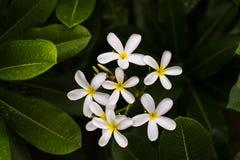 白色羽毛晨曲,赤素馨花或者西部印地安人茉莉花花 库存照片