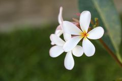 白色羽毛花和叶子 免版税库存图片