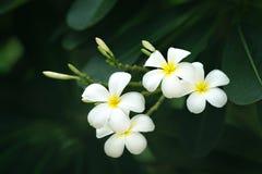 白色羽毛花是开花在庭院里 免版税库存照片