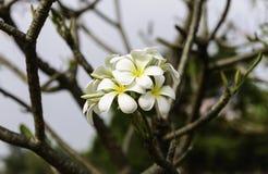 白色羽毛(赤素馨花)花 免版税库存照片