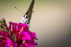 白色翅上有细纹的蝶蝴蝶 免版税库存照片