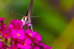白色翅上有细纹的蝶蝴蝶 库存照片