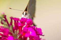白色翅上有细纹的蝶蝴蝶 免版税库存图片