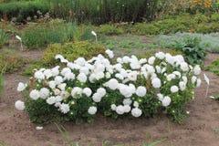 白色翠菊灌木在城市公园遇见黎明 白色翠菊灌木在被隔绝的背景的 库存图片