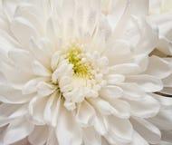 白色翠菊背景 图库摄影