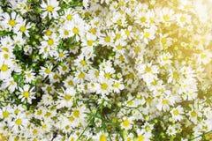 白色翠菊花柔光 门 关闭 库存照片