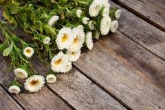 白色翠菊花 图库摄影