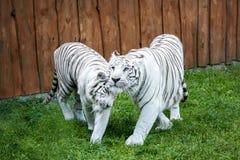 白色老虎偎依 库存图片