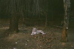 白色老虎在动物园里 免版税库存照片