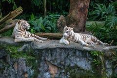 白色老虎在动物园里 免版税库存图片