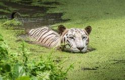 白色老虎在湿软的沼泽的水中游泳 白色孟加拉老虎被考虑作为危险 免版税库存图片