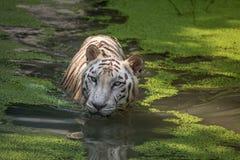 白色老虎在面对的沼泽的水中直接 射击的白色孟加拉老虎关闭 库存照片