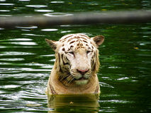 白色老虎在水中 免版税库存图片
