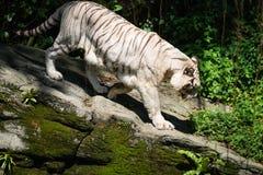 白色老虎在绿色热带森林里 库存图片