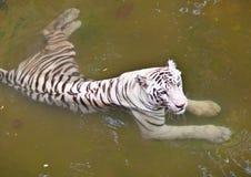 白色老虎在水, Java,印度尼西亚中。 免版税图库摄影
