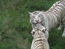 白色老虎对 免版税库存照片