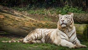 白色老虎或被漂白的老虎Tigre bianca del Bengala 免版税库存图片