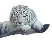白色老虎水彩 免版税库存图片